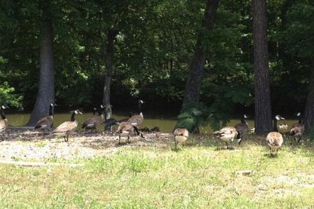 Geese at Bull Bayou Road, Lake Hamilton